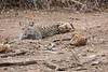 Leopard_Cub_Mashatu_Botswanna__0017