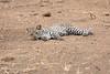 Leopard_Cub_Mashatu_Botswanna__0001