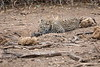 Leopard_Cub_Mashatu_Botswanna__0015