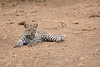 Leopard_Cub_Mashatu_Botswanna__0005