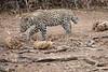 Leopard_Cub_Mashatu_Botswanna__0020
