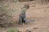 Leopard_Cub_Mashatu_Botswanna__0011