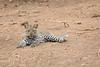Leopard_Cub_Mashatu_Botswanna__0006
