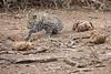 Leopard_Cub_Mashatu_Botswanna__0018