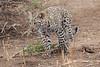 Leopard_Cub_Mashatu_Botswanna__0030