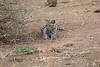 Leopard_Cub_Mashatu_Botswanna__0013