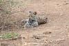 Leopard_Cub_Mashatu_Botswanna__0014