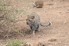 Leopard_Cub_Mashatu_Botswanna__0010