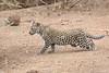 Leopard_Cub_Mashatu_Botswanna__0008