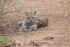 Leopard_Cub_Mashatu_Botswanna__0024