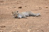 Leopard_Cub_Mashatu_Botswanna__0002