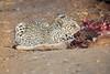 Leopard_Eating_Kudu_Mashatu_Botswanna__0373