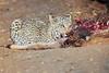 Leopard_Eating_Kudu_Mashatu_Botswanna__0363
