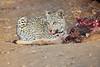 Leopard_Eating_Kudu_Mashatu_Botswanna__0366
