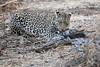 Leopard_Eating_Guineafowl_Mashatu_Botswanna__0015