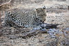 Leopard_Eating_Guineafowl_Mashatu_Botswanna__0024