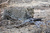 Leopard_Eating_Guineafowl_Mashatu_Botswanna__0025