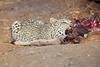 Leopard_Eating_Kudu_Mashatu_Botswanna__0372