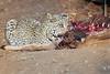 Leopard_Eating_Kudu_Mashatu_Botswanna__0360