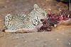 Leopard_Eating_Kudu_Mashatu_Botswanna__0368