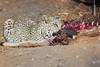 Leopard_Eating_Kudu_Mashatu_Botswanna__0362