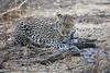 Leopard_Eating_Guineafowl_Mashatu_Botswanna__0008