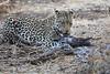 Leopard_Eating_Guineafowl_Mashatu_Botswanna__0004