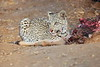 Leopard_Eating_Kudu_Mashatu_Botswanna__0367