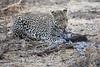 Leopard_Eating_Guineafowl_Mashatu_Botswanna__0019