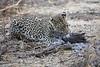 Leopard_Eating_Guineafowl_Mashatu_Botswanna__0027