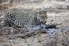 Leopard_Eating_Guineafowl_Mashatu_Botswanna__0022