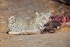 Leopard_Eating_Kudu_Mashatu_Botswanna__0369