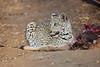 Leopard_Eating_Kudu_Mashatu_Botswanna__0359