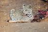 Leopard_Eating_Kudu_Mashatu_Botswanna__0357