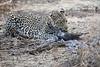 Leopard_Eating_Guineafowl_Mashatu_Botswanna__0012