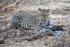 Leopard_Eating_Guineafowl_Mashatu_Botswanna__0010