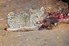 Leopard_Eating_Kudu_Mashatu_Botswanna__0364