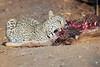 Leopard_Eating_Kudu_Mashatu_Botswanna__0361