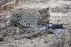 Leopard_Eating_Guineafowl_Mashatu_Botswanna__0018