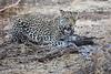 Leopard_Eating_Guineafowl_Mashatu_Botswanna__0006
