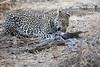 Leopard_Eating_Guineafowl_Mashatu_Botswanna__0011