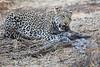 Leopard_Eating_Guineafowl_Mashatu_Botswanna__0003