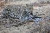 Leopard_Eating_Guineafowl_Mashatu_Botswanna__0002