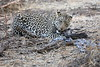 Leopard_Eating_Guineafowl_Mashatu_Botswanna__0016