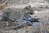 Leopard_Eating_Guineafowl_Mashatu_Botswanna__0007