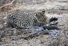 Leopard_Eating_Guineafowl_Mashatu_Botswanna__0028