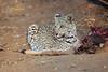 Leopard_Eating_Kudu_Mashatu_Botswanna__0358