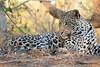 Leopard_Mashatu_Botswana0079