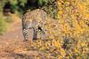 Leopard_Mashatu_Botswana0002