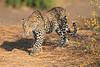 Leopard_Mashatu_Botswana0004